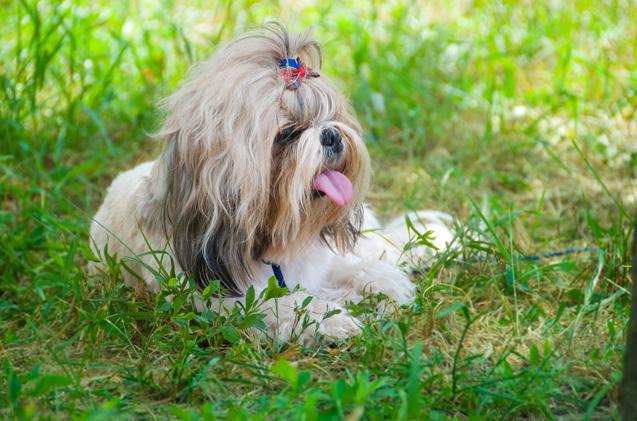 lazy_dog_breeds_shih_tzu