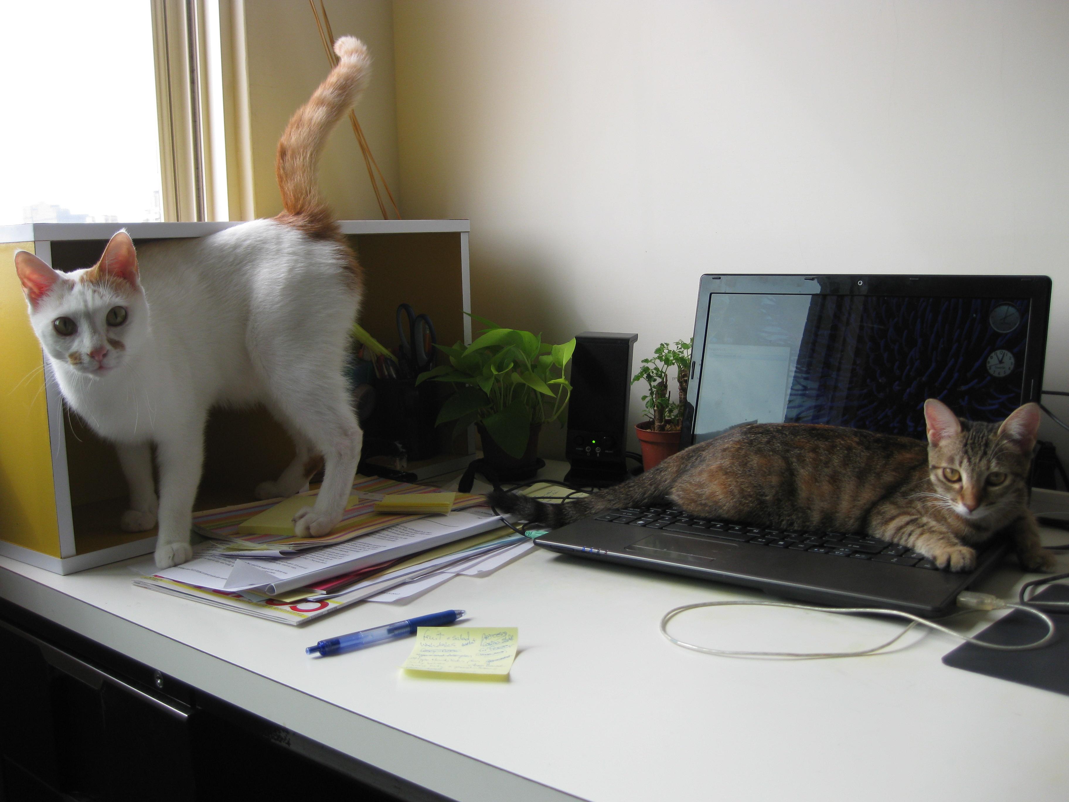 До чого варто бути готовим в перший місяць співмешкання з котом?
