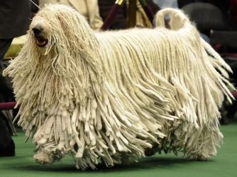 Комондор (угорська вівчарка)