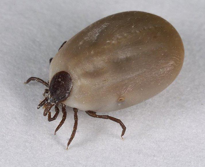 Весна. Сезон кліщів відкрито. Як «виселити» паразита?