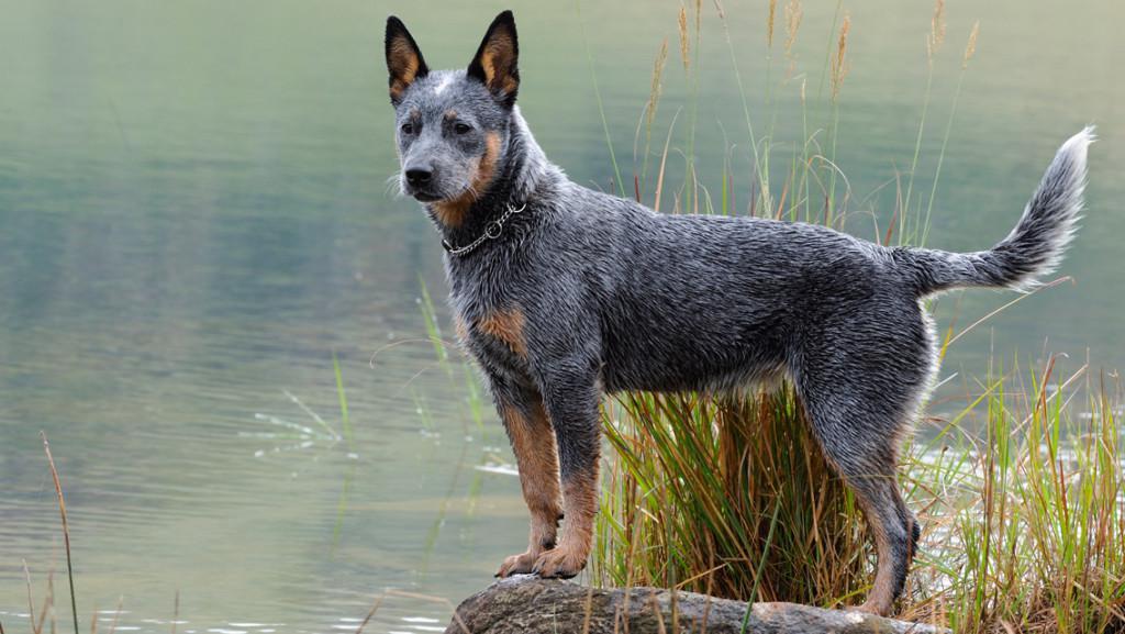 Avstraliyskiy kettl dog