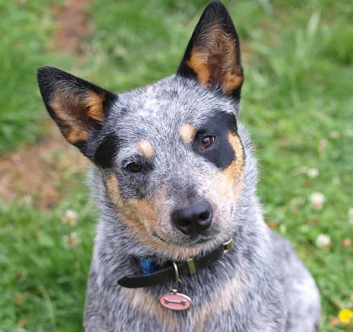 Avstraliyskiy kettl dog1