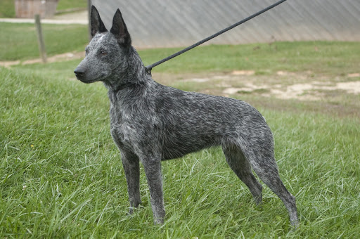 Avstraliyskiy kettl dog2