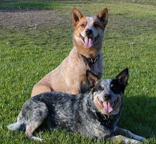 Avstraliyskiy kettl dog4