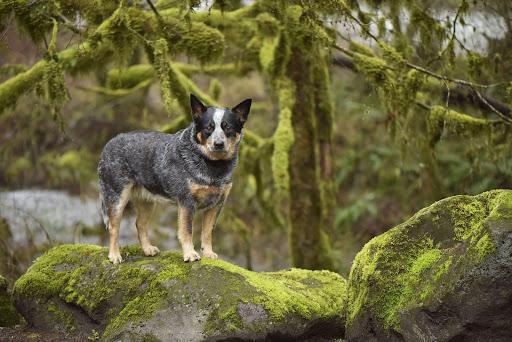 Avstraliyskiy kettl dog5