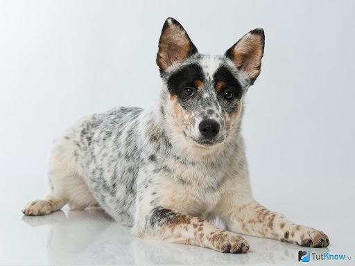 Avstraliyskiy kettl dog7