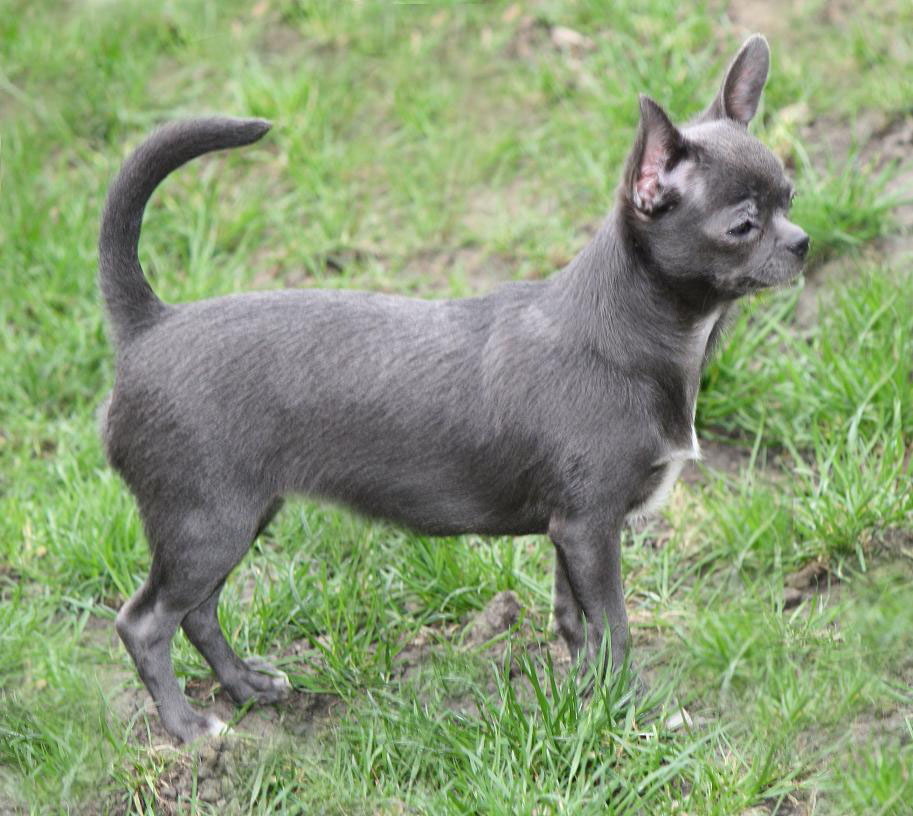 Chihuahua3