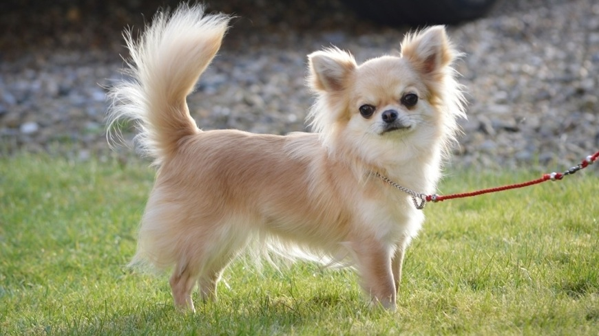 Chihuahua4
