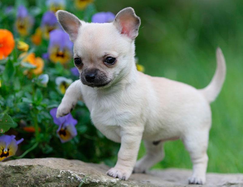 Chihuahua5