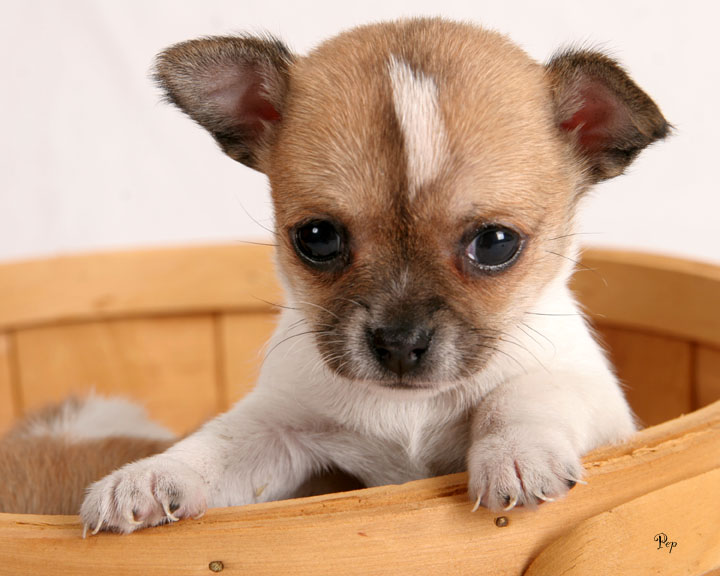 Chihuahua6