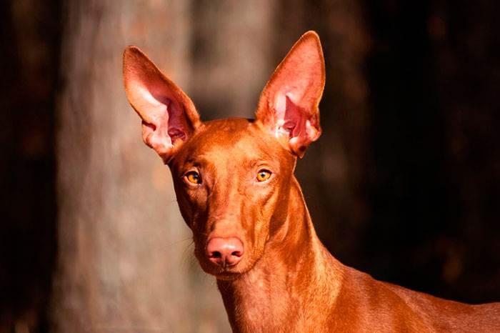 Фараоновий собака
