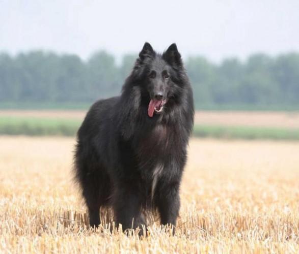Бельгійська вівчарка грюнендаль