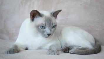 Тонкінська кішка (тонкінез)
