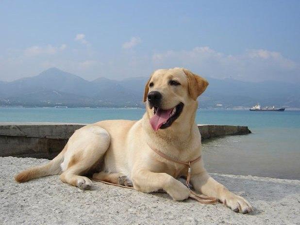 Labrador retriver2