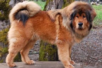 Tibetskiy mastif