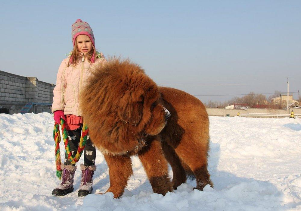 Tibetskiy mastif1