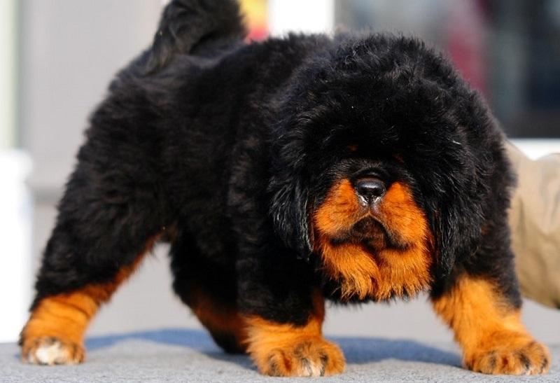 Tibetskiy mastif2