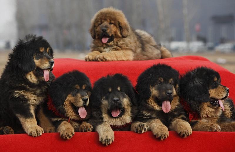 Tibetskiy mastif3