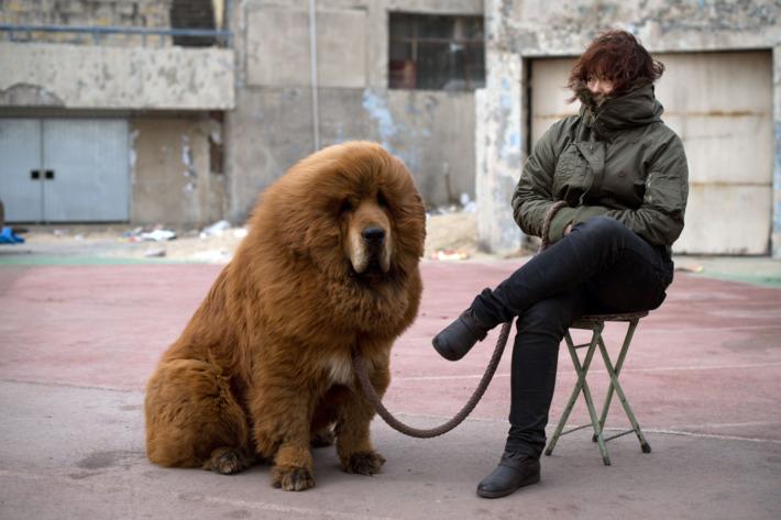 Tibetskiy mastif4