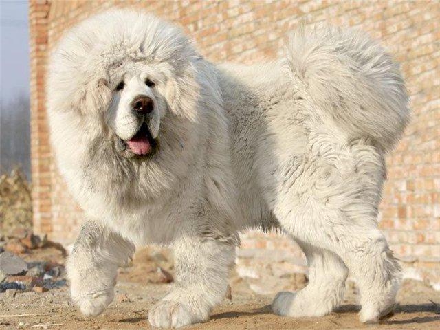 Tibetskiy mastif5