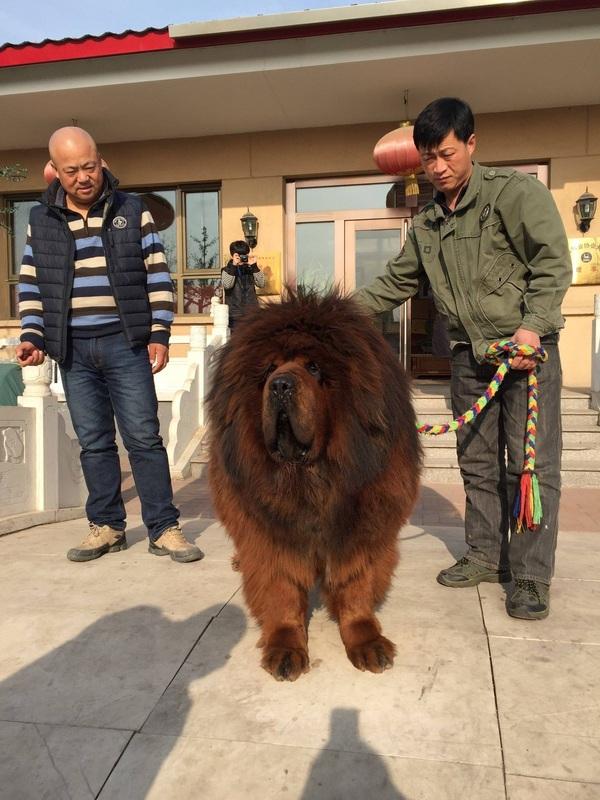 Tibetskiy mastif7