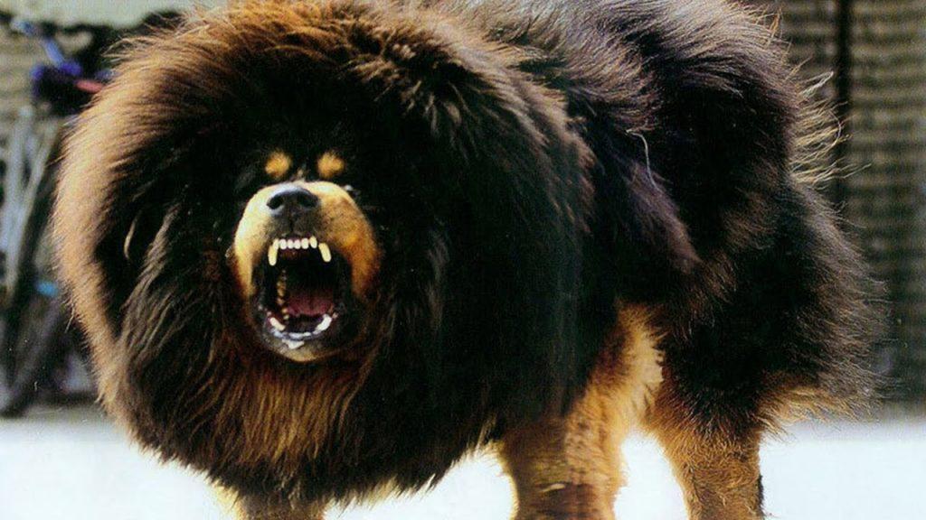 Tibetskiy mastif8