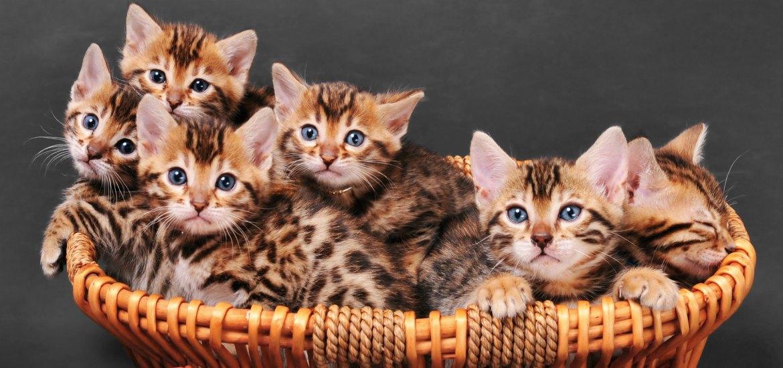 Бенгальская кошка: история возникновения, особенности молодой ... | 550x1170