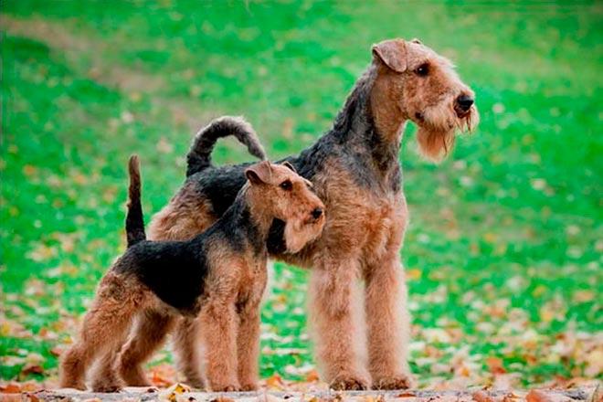welsh-terrier-6