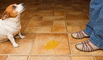 Цистит у собак: ознаки, лікування, профілактика