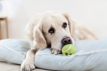 Як собака може повідомити господаря коли у нього щось болить?