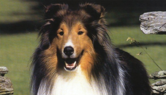 Бордер колли собака. Описание, особенности, виды, уход и цена породы бордер колли