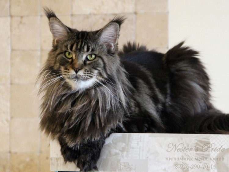 Кошки мейн-кун характер любимца