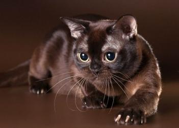 Бурманська кішка - особливості, характер та хвороби породи. Утримання та догляд за бурманською кішкою