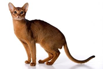 Абісинська кішка - особливості, характер та хвороби породи. Утримання та догляд за абісинською кішкою