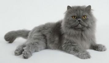 Персидська кішка - особливості, характер та хвороби породи. Уход и воспитание персидской кошки