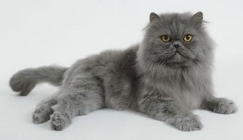 Персидская кошка: описание породы и характера