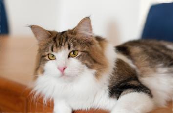 Норвежская лесная кошка - особенности, характер и болезни породы. Питание и уход за норвежской лесной кошкой