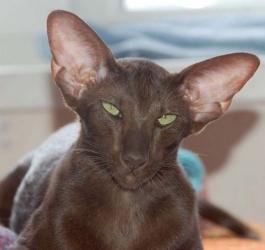Ориентальная кошка - особенности, характер и болезни породы. Питание и уход за ориентальной кошкой