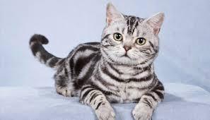 Американська короткошерста кішка - особливості, характер та хвороби породи. Харчування та догляд за американською короткошерстою кішкою