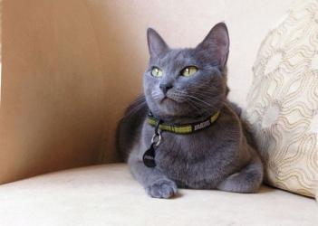Російська блакитна кішка - особливості, характер та хвороби породи. Харчування та догляд за російською блакитною кішкою