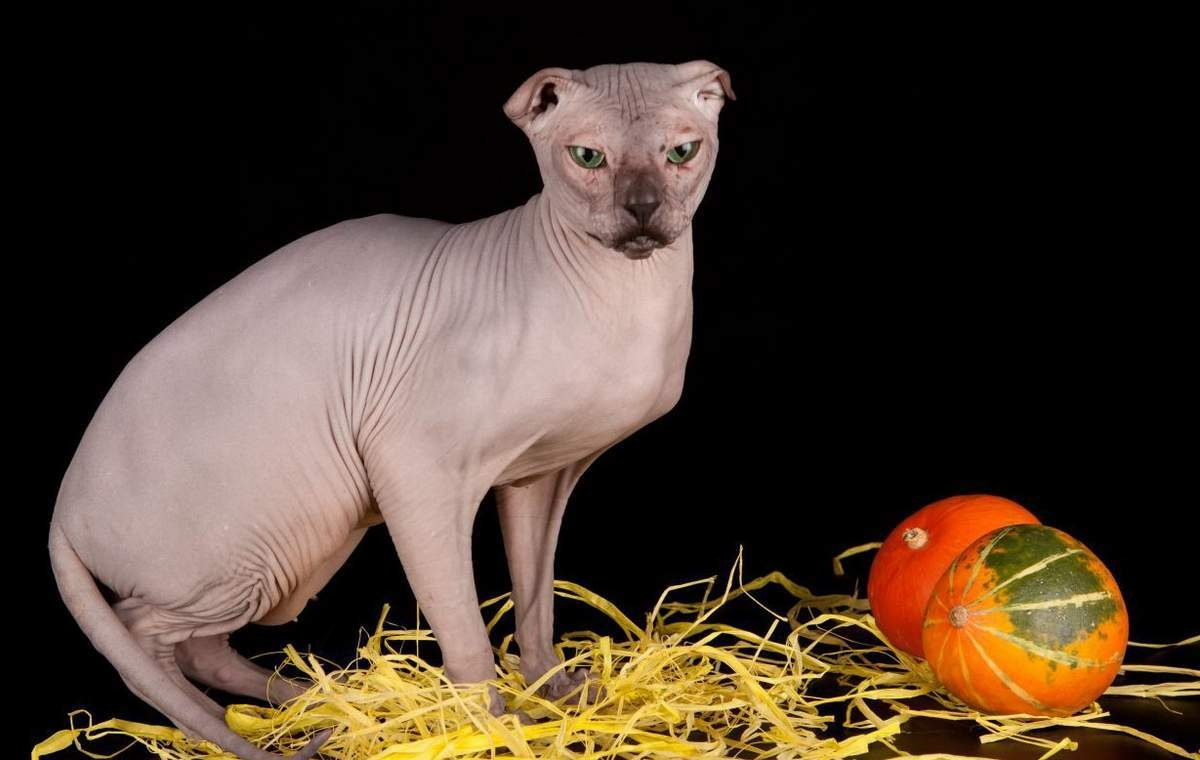 Украинский левкой кошка Описание особенности уход и цена Украинского левкоя