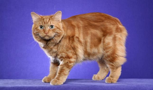 Кимрик (фото), порода кошек, цена стоимость котенка история внешний вид окрасы продолжительность жизни здоровье характер темперамент кимрика вес рост