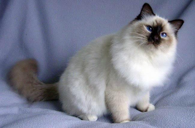 Описание породы бирманская кошка священная бирма