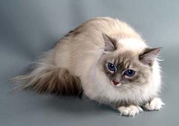 Невська маскарадна кішка - особливості, характер та хвороби породи. Харчування та догляд за невською маскарадною кішкою