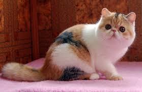 Екзотична короткошерста кішка - особливості, характер та хвороби породи. Харчування та догляд за екзотичною короткошертою