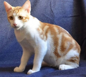 Анатолийская кошка - особенности, характер и болезни породы. Питание и уход за анатолийской кошкой