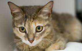 Цейлонская кошка - особенности, характер и болезни породы. Питание и уход за цейлонскими кошками