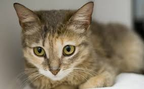 Цейлонская кошка (цейлонский кот) - Усатый-полосатый