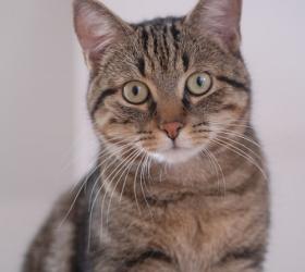 Бразильська короткошерста кішка - особливості, характер та хвороби породи. Харчування та догляд за бразильською короткошерстою кішкою