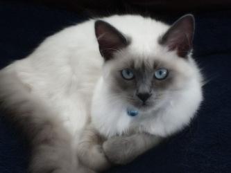 Балинезийская кошка - особенности, характер и болезни породы. Питание и уход за балинезийской кошкой